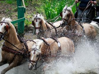 A team of 4 horses in a combined driving contest